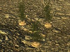 Цветок брока и корень зандер где найти